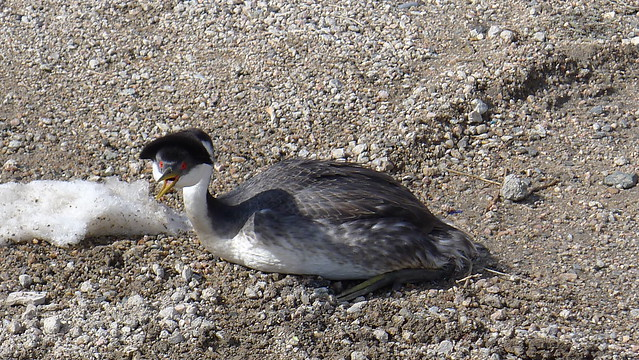 My Buddy The Western Grebe.