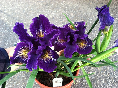 Iris x Pacific Coast Hybrid Blue with Gold