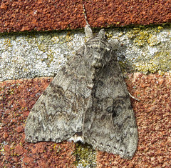 Red Underwing Catocala nupta Tophill Low NR, East Yorkshire August 2016