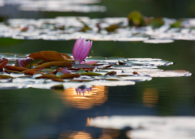 Water Lily, Sunset