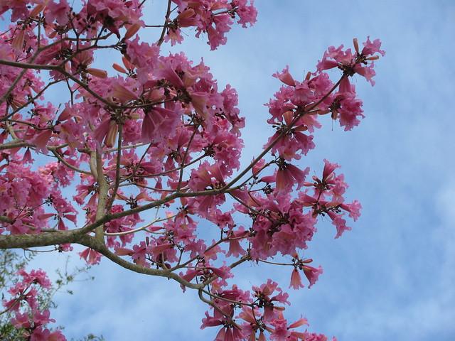 Pink tabebuia against sky