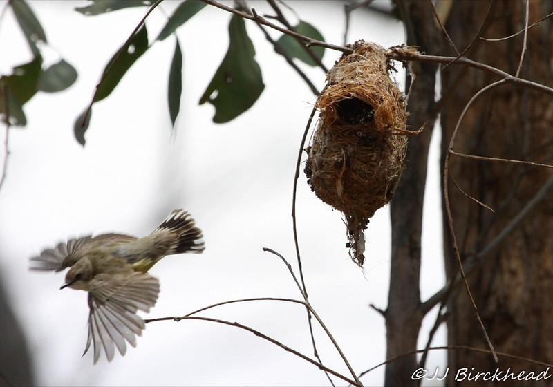 White-throated Warbler leaving nest Jan 2013