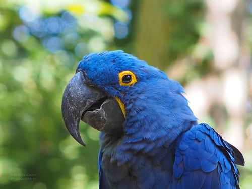 blue portrait smile birds zoo dof nashville bokeh tennessee parrot macaw manualfocus omd hyacinthmacaw anodorhynchushyacinthinus anodorhynchus legacyglass om135mmf28asanuma