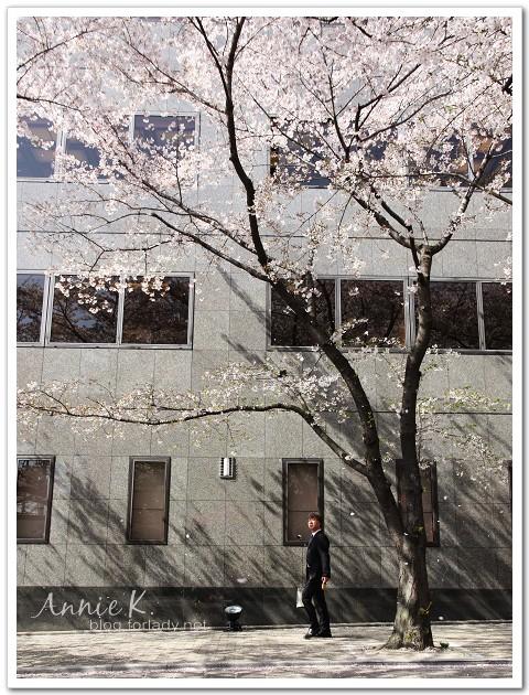 白川通櫻花雨