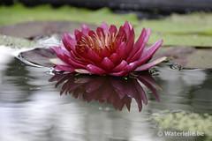 DSC_0103 Waterlelie Red Daniel