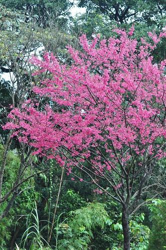 樹林大同山櫻花