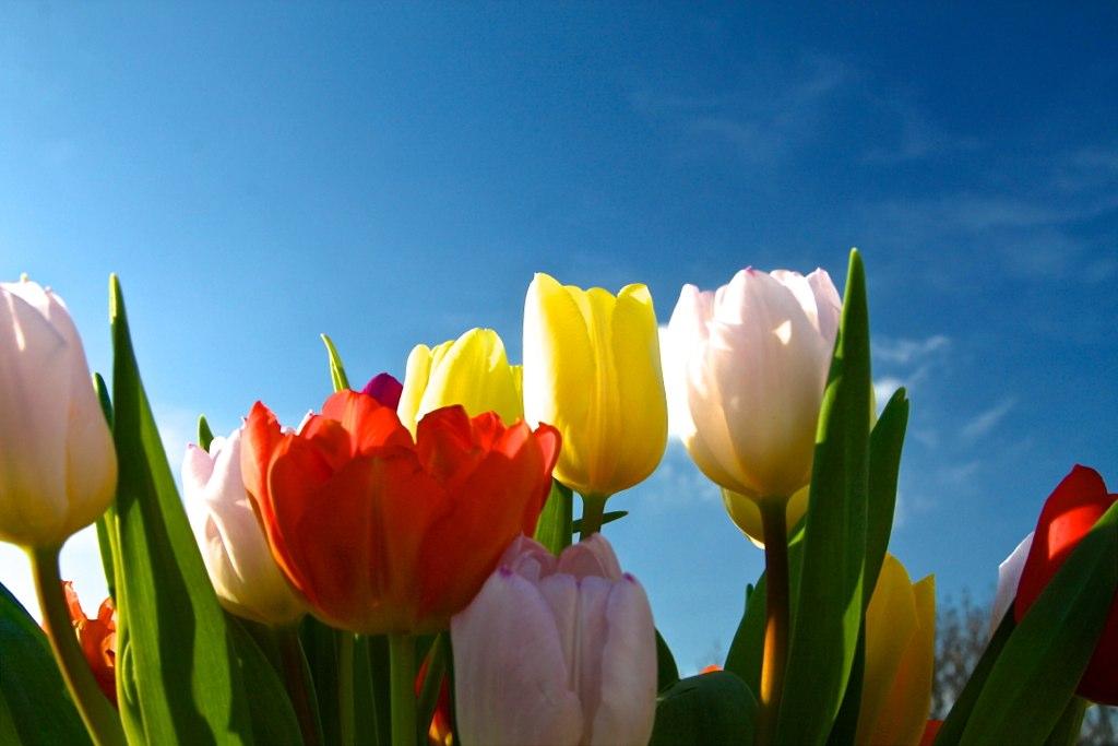 mmyPic - Tulpen aus A… vom Münsterplatz