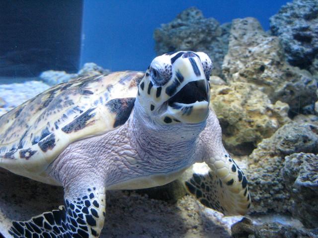 2013.02.20 - Hawksbill sea turtle II