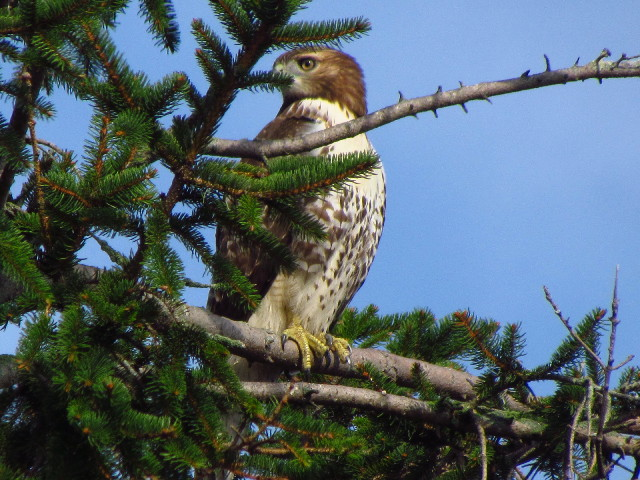 Red-tailed Hawk2 9:6:12