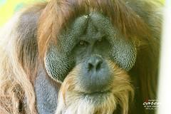 Sumatra Orang Utan BRUNO
