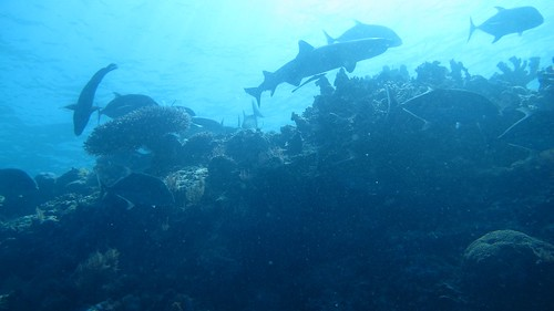 Sharks and Trevelly in Sipadan