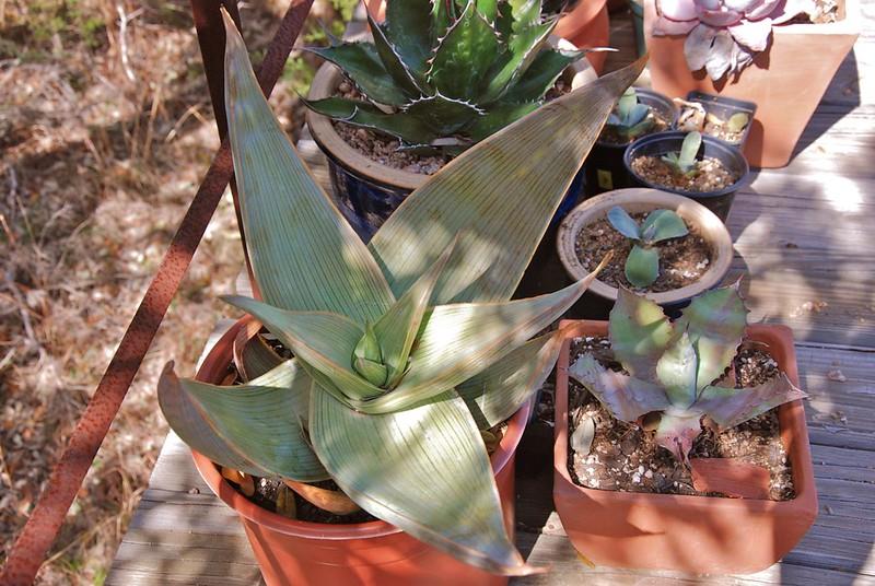 Aloe hereoensis or A. karasbergensis?