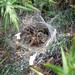 Small photo of Agelenidae. (Agelena labyrinthica)