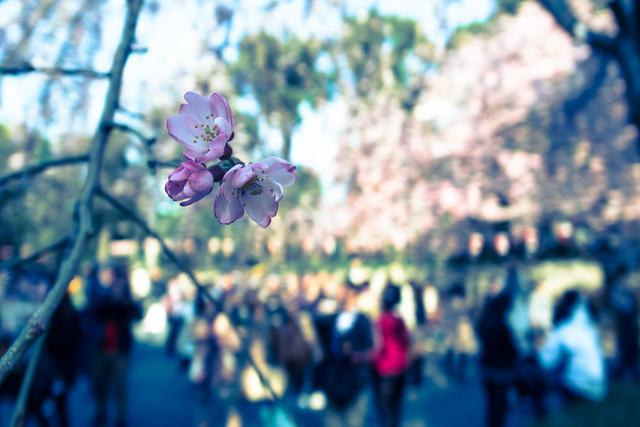 Sakura, 1st contact