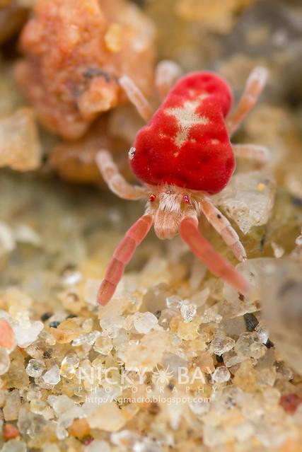 Velvet Mite (Trombidiidae) - DSC_8868