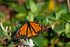 Monarch butterfly in Jamestown, RI