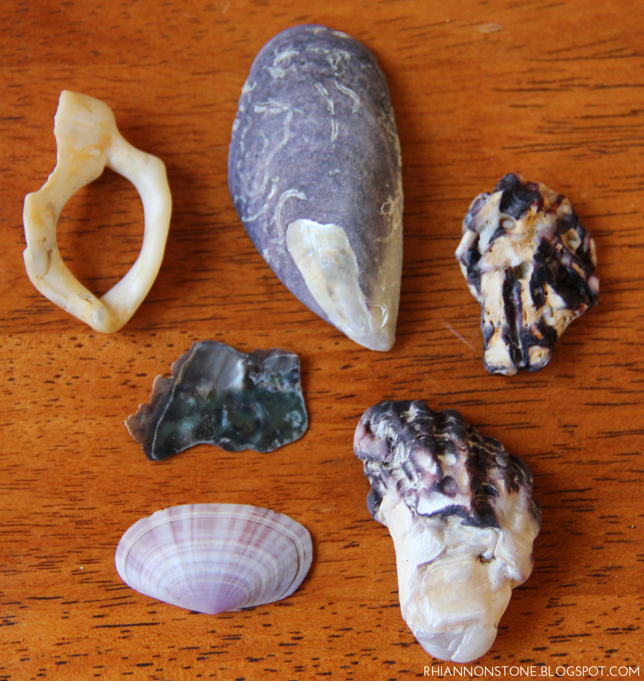 Shells from Takapuna Beach, Auckland