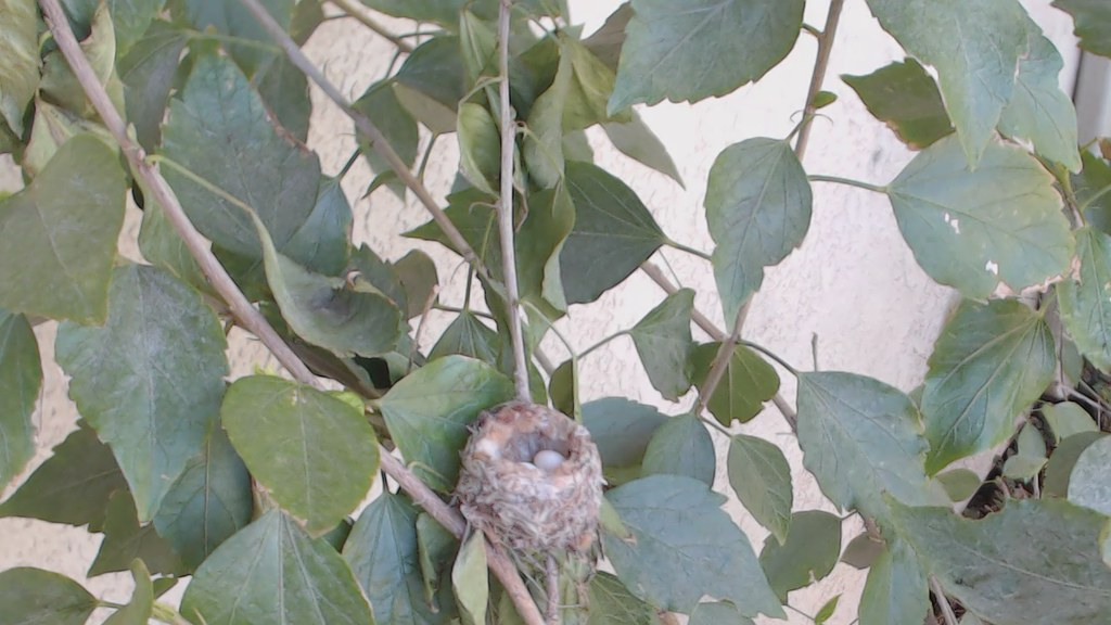 Allen's Hummingbird at Nest (video)