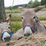 Donkey Friends - Raglan, New Zealand