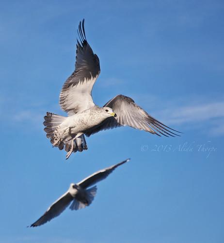 gulls fly by Alida's Photos