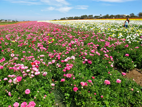 The Flower Fields at Carlsbad, California