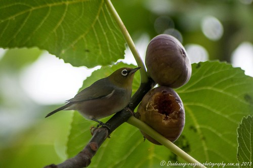 Silver-eye in the Fig Tree