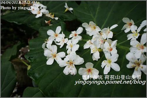 雲林古坑_古坑桐花20130404_DSC004458