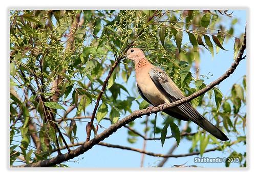 Mourning Dove-Zenaida macroura by ShubhenduPhotography