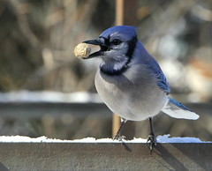 animal, fauna, finch, bluebird, blue jay, emberizidae, beak, bird, wildlife,