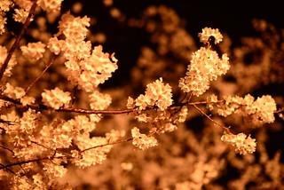 夜桜@庄川水記念公園。