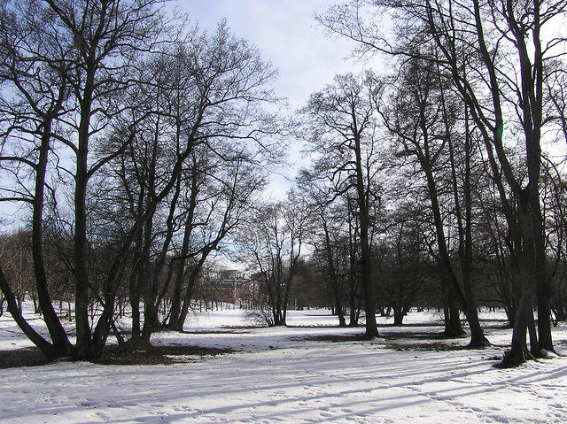 Old Betula alnus trees in Kadrioru Park