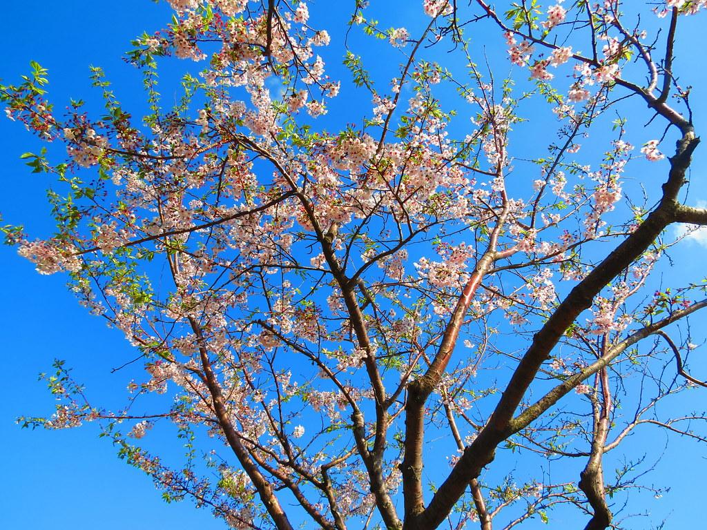 Cherry Blossom, Amnam Park