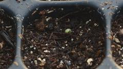 Lettuce emerging