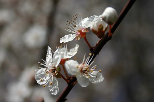 Cherry tree IV