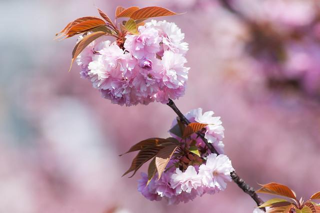 Sakura @Osaka MINT