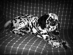 animal, dog, white, pet, mammal, monochrome photography, dalmatian, monochrome, black-and-white, black,