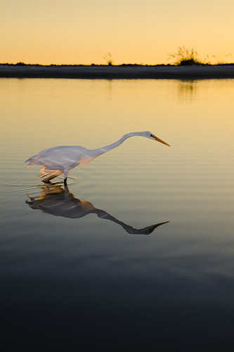 sunset sea reflection bird landscape fishing florida wildlife peaceful lagoon calm egret animalplanet fortmyers