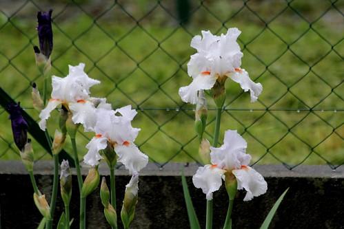 Nos Iris : floraisons 2012 - Page 2 8665616510_fc306f01f2