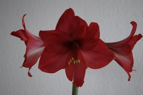 amaryllis ritterstern hippeastrum iii beliebte pflanzen erfahrungen green24 hilfe. Black Bedroom Furniture Sets. Home Design Ideas