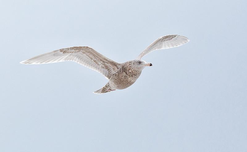 A stunning Glaucous Gull