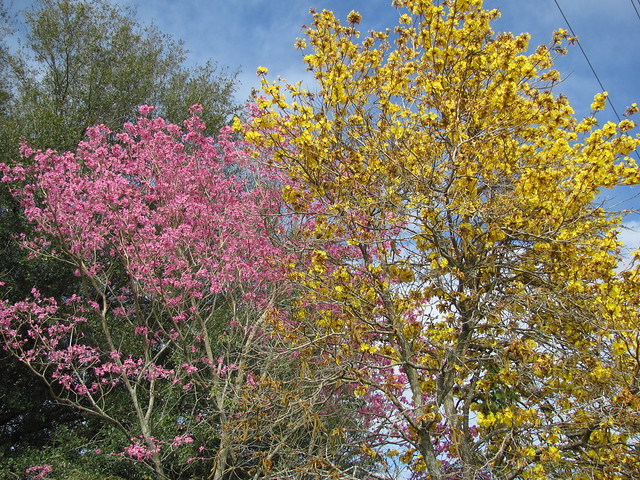 Yellow and Pink tabeuia trees