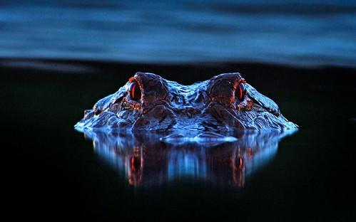 alligator-eyes_2473487k