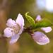 Peach Blossom por BigOwl7