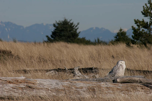 Snowy Owl at Damon Point
