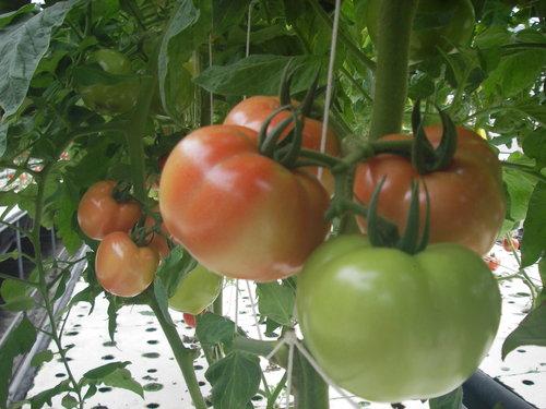 彰化市婦產醫師蔡鋒博提供吃大蕃茄減肥經驗4