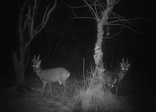 Roe Deer Montage