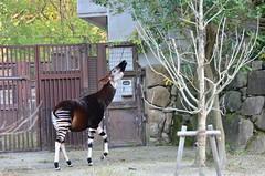 pack animal(0.0), animal(1.0), zoo(1.0), okapi(1.0), fauna(1.0), giraffidae(1.0),