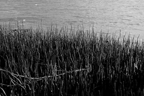 IMG 8945.1  Monochrome Mangroves