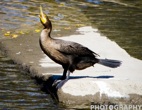 Double-Crested Cormorants by Ricky L. Jones Photography