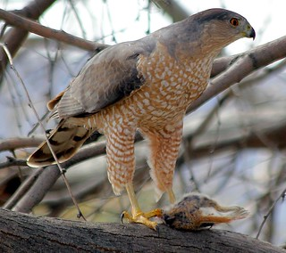Adult Cooper's Hawk  (Accipter cooperii), mid-meal.